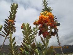 Kolly especie nativa del Cusco y lugares alto andinas.