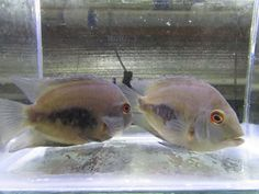 "(Pack Of 3) Uaru Cichlid 2.5-3"" Live Aquarium Tropical Fish. $38.00 Expedited Shipping. Beautiful faces, very clean. Live Aquarium Fish, Tropical Aquarium, Tropical Fish, South American Cichlids, Cichlid Fish, Fish Stock, Triangle Shape, Exotic, Faces"
