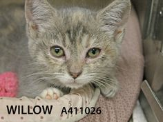 Willow and her siblings Buffy and Xander are Toni's Kitty Rescue foster kitten graduates. They are ready for forever homes. Come meet and adopt these sweeties today! A411026/A411025/A411027