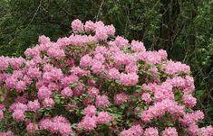 Guida alla coltivazione e alla cura del Rododendro: esposizione, temperature, annaffiature, terreno, concimazione, potatura, parassiti e malattie.