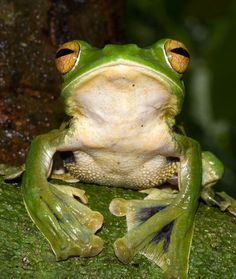 Helen's flying frog uses webbed feet to glide through Vietnamese forests.    Photograph courtesy Jodi Rowley