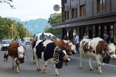 Beatenberg  Cows coming off the Mountains for the Winter