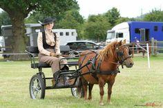 Miniature shetland pony driving show trap cart horse chestnut