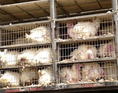 turkeys in transport truck