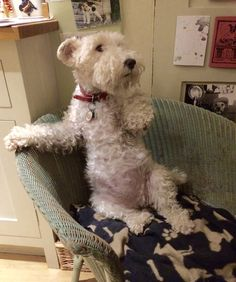 Fox Terriers, Chien Fox Terrier, Wirehaired Fox Terrier, Wire Fox Terrier, Funny Animal Pictures, Funny Animals, Cute Animals, Doggies, Dogs And Puppies