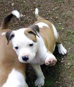american pit bull terrier   Di tutto di più - American Pit Bull Terrier
