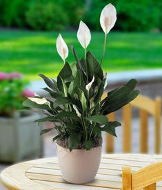 Easy Houseplants How to Care for Peace Lily is part of Living Room Plants Peace Lily - Peace Lily prefers medium, indirect sunlight Yellow leaves indicate the Peace Lily is getting too much light Brown spot and streaks indicate direct sun Peace Lily Indoor, Peace Lily Plant, Green Plants, Cactus Plants, Father's Day Flowers, White Flowers, Get Well Soon Flowers, Thanksgiving Flowers, Flower Pot Design