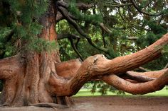 'Twisted' - photo by O-Gosh on deviantART;  tree in Christchurch Botanical Garden, New Zealand
