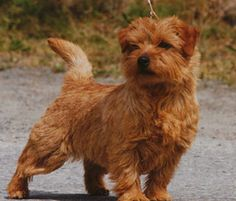 Norfolk Terriers! - I would really like my second dog to be one of these little guys.  Does anyone know of a reputable breeder?