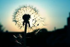 'Pusteblume' a photo by 'titia'