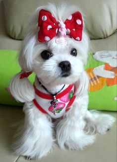 If you're looking for a Maltese breeder in Glendale, AZ, you're in the right place! All of our Maltese dogs are DNA certified and AKC registered. Teacup Maltese, Maltese Dogs, Maltese Haircut, Cute Puppies, Cute Dogs, Perro Shih Tzu, Dog Haircuts, Maltipoo Haircuts, Sweet Dogs