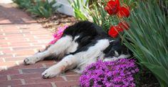 BeBe..the Dogs of Stapleton Calendar's Miss May