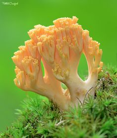 Superb Nature - blooms-and-shrooms: Coral Fungus by All Things.
