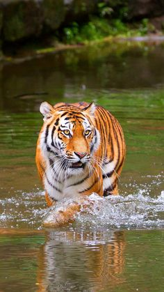 Photo: Wild animals - Siberian Tiger