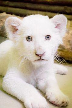 White lion cub in Nyiregyhaza Zoo