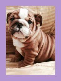 English Bulldog Pups For Sale English Bulldog Pet Dogs For