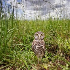 Mac Stone - Burrowing Owl