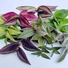 Your place to buy and sell all things handmade Assorted Wandering Jew/Tradescantia Fluminensis Zebrina House Easy Care Plants, Plant Care, Types Of Houseplants, Plants In Bottles, Wandering Jew, Smart Garden, Best Indoor Plants, Plant Cuttings, Hardy Perennials