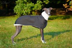 new Whippet coat design by zaCHARTowani. All rights reserved. See more at https://www.facebook.com/zachartowani/