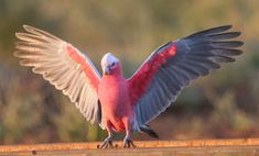 Galah Cockatoo - Parrot Forum - Parrot Owner's Community