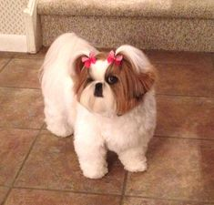 """Chloe"" in her puppy cut hair style is modeling Butterfly Dog Bows!"