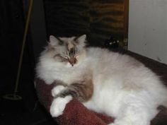 Carolina is an adoptable Ragdoll Cat in Chattanooga, TN.  ...