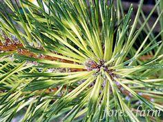 Pinus thunbergii 'Oculus Draconis'