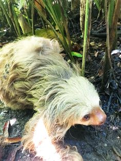 Keep an eye out for sloths in Costa Rica. Wildlife is everywhere. Cute Baby Sloths, Cute Sloth, Costa Rica Sloth, My Spirit Animal, White Sand Beach, Beautiful Creatures, Tourism, Cute Animals, Wildlife