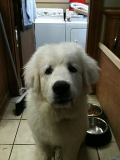 Pyrenean Mountain Dog- neighbors just had puppies- perhaps a new brother or sister for our lab?