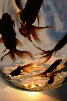 Goldfish at sunset Ragnor Fell, Fish Wallpaper, Koi Carp, Orange Aesthetic, All Nature, Fauna, Aquarium Fish, Aesthetic Pictures, Fish Tank
