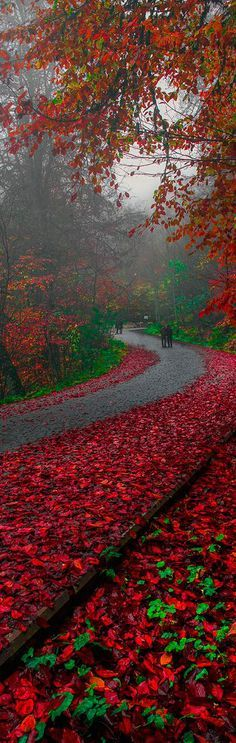 Red Autum in the Road to Bolu   Turkey