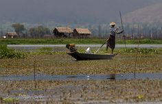 Mandalay - Myanmar  - Floating Gardens - by Emanuele Del Bufalo -   The floating garden beds are formed by extensive manual labor. The farmers gather up lake-bottom weeds from the deeper parts of the lake, bring them back in boats and make them into floating beds in their garden areas, anchored by bamboo poles. These gardens rise and fall with changes in the water level, and so are resistant to flooding.