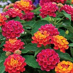 Cherry Sunrise Lantana They produce extravagant amounts of big flower clusters, are compact, dense and well branched so the flowers are borne close together and make a big show, and have a semi-trailing habit that is great for hanging baskets or creating a ground cover in the garden. And, of course, they bloom nonstop till frost!   Scads of large blooms of unusual deep cherry color, highlighted by new flowers of bright gold in the centers. A favorite!