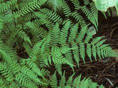Lady fern (Athyrium filix-femina) native to Lousiana Water Garden Plants, Rain Garden, Shade Garden, Cactus Plants, Meadow Garden, Shade Plants, Gardening Zones, Gardening Tips, Lady Fern