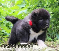 yavru kars çoban köpeği http://www.kafkascobankopegi.com/2016/07/satilik-kafkas-coban-kopegi-yavrulari.html