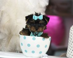 ♥♥♥ Teacup Yorkie! ♥♥♥ Bring This Perfect Baby Home Today! Call 954-353-7864 www.TeacupPuppiesStore.com <3 <3 <3 TeacupPuppiesStore - Teacup Puppies Store Tea Cup Puppies Store - TeacupPuppiesStore.com