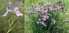 Iris tenax | 10. Tough-leaf iris (Oregon iris) - Iris tenax