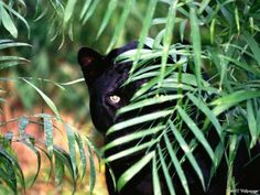 Micah's family are shapeshifting panther people. wild panthers - Google Search