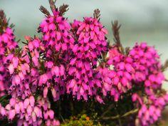 Winterheide, Schneeheide (Erica carnea) - hardy + winterblooming
