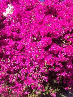 Jacaranda arbre qui pousse vite ouvert ou divergeant - Plante couvre sol qui pousse vite ...