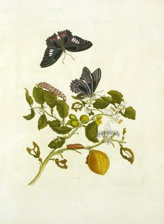Would make an amazing tattoo: Art, Science, and Butterfly Metamorphosis: How a 17th-Century Woman Laid the Foundations of Modern Entomology | Brain Pickings