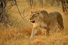 Löwin auf der Jagt von Vito der Bayer