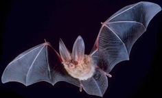 The bats in northeatern Brazilian forest turned into vampires as humans started to move into their territory