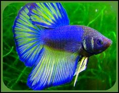 "Summary: Betta Fish also known as Siamese fighting fish; derives its name from the Thai phrase 'ikan bettah"". Mekong basin in Southeast Asia is the home of Betta Fish and is considered to be one of the best aquarium fishes. Tropical Freshwater Fish, Freshwater Aquarium Fish, Tropical Fish, Pretty Fish, Beautiful Fish, Animals Beautiful, Poisson Combatant, Siamese Fighting Fish, Aquariums"