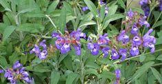 Salvia Officinalis, Health Fitness, Garden, Nature, Paradis, Darken Hair Naturally, Alzheimer's Dementia, Kidney Failure, Cholesterol Levels