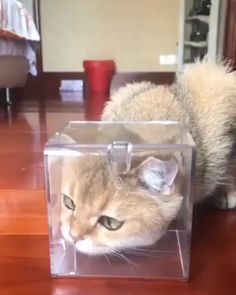 Cats can be Disney Princesses too, given the right circumstances. Cats can be Disney Princesses too, given the right circumstances. Funny Animal Videos, Cute Funny Animals, Funny Animal Pictures, Cute Baby Animals, Animals And Pets, Funny Cats, Cute Kittens, Cats And Kittens, Baby Cats