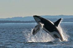 Transient Orcas near Salt Spring Island, BC Washington Island, Orcas, Killer Whales, Ocean Life, Wild Animals, Pacific Northwest, Predator, Dolphins, Places To Go