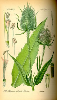 Dipsacus - weed with opposite leaves that form cups and have sharp spikes, if I'm not mistaken, this is called teasel. Grows EVERYWHERE around Middle Tennessee. Vintage Botanical Prints, Botanical Drawings, Botanical Art, Science Illustration, Plant Illustration, Illustration Botanique Vintage, Impressions Botaniques, Mushroom Art, Science And Nature