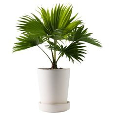 Palm - live potted - patios and living areas - Liked @ www.homescapes-sd.com #staging San Diego home stager (760) 224-5025