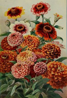 Mexican Zinnias.  Plate from 'Le Moniteur D'Horticulture' under the direction of  M. Lucien Chaure. Published 1902. Paris. The LuEsther T Mertz Library, the New York Botanical Garden archive.org